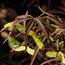 ACER palmatum 'Scolopendriifolium' 'Atropurpureum'