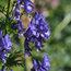 ACONITUM 'Newry Blue'
