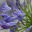 AGAPANTHUS africanus 'Headbourne hybrids'