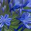 AGAPANTHUS africanus blue