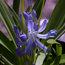 AGAPANTHUS 'Gayle's Lilac'