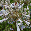 AGAPANTHUS 'Windsor Grey'
