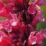 AGASTACHE mexicana 'Red Fortune'