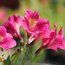 ALSTROEMERIA 'Princess Louise'