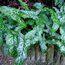 ARUM italicum marmoratum
