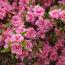 AZALEA - EVERGREEN 'Rosebud'