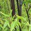 BAMBOO Phyllostachys nigra