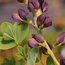 BAPTISIA 'Dutch Chocolate'