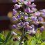 BAPTISIA australis 'Purple Smoke'