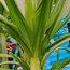 BESCHORNERIA albiflora