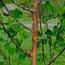 BETULA utilis ssp. albosinensis 'China Rose'