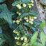 BOQUILA trifoliolata