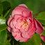 CAMELLIA 'Strawberry Parfait'