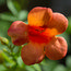 CAMPSIS radicans 'Indian Summer'