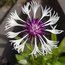 CENTAUREA montana 'Purple Heart'