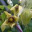 CLEMATIS serratifolia