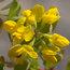CORONILLA valentina subsp glauca