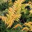 HARDY FERNS Dryopteris wallichiana 'Jurassic Gold'