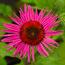 ECHINACEA purpurea 'Little Giant'