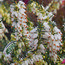 HEATHERS Erica carnea 'Winter Snow'