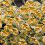 EUPHORBIA characias 'Tasmanian Tiger'
