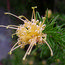 GREVILLEA juniperina sulphurea