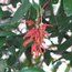GREVILLEA victoriae