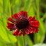 HELENIUM 'Ruby Thuesday'