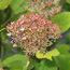 HYDRANGEA arborescens 'Magical Pinkerbell'