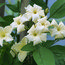 JASMINUM officinale affine 'Clotted Cream'