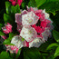 KALMIA latifolia 'Olympic Fire'