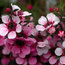 LEPTOSPERMUM scoparium 'Martini'