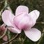 MAGNOLIA campbellii subsp. mollicomata 'Lanarth' 'Bishop Michael'