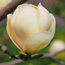 MAGNOLIA 'Honey Tulip'