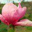 MAGNOLIA 'Rose Marie'