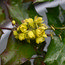 MAHONIA japonica