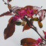 MALUS 'Evelyn'