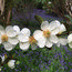 MICHELIA laevifolia 'Summer Snowflake'