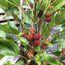 MORUS rotundifolia 'Mojo Berry'
