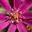 OLEARIA phlogopappa 'Combers Pink'