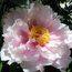 PAEONIA suffruticosa pink