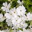 PHLOX paniculata 'White Admiral'