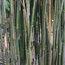 BAMBOO Pleioblastus simonii 'Variegatus'