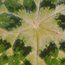 PODOPHYLLUM versipelle 'Kaleidoscope'