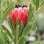 PROTEA Protea 'Tasman Ruby'