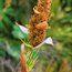 RESTIO Elegia capensis