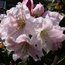 RHODODENDRON 'Angelo'