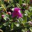 RHODODENDRON calostrotum subsp. riparium Nitens