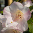RHODODENDRON 'Countess of Haddington'