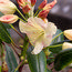 RHODODENDRON 'Crest' (Hawk Group)